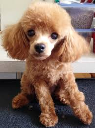 meet pi help needed a petfinder adoptable poodle dog in dover ma