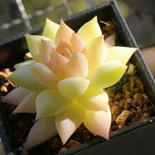33 best succulents images on pinterest herbs vines and flora