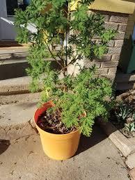 plants that keep mosquitoes away natural repellant iowa gardener