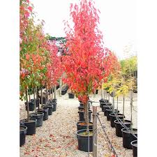 500mm ornamental pear cleveland select pyrus calleryana