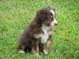 australian shepherd white toy story aussies puppy colors