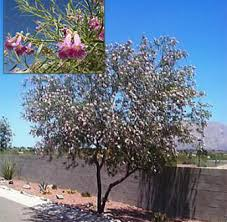 desert willow tree horticulture unlimited