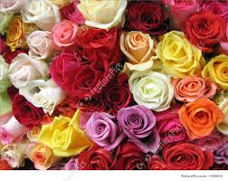 multi colored roses flowers colorful roses stock photo i1259016 at featurepics
