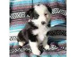 australian shepherd in california view ad miniature australian shepherd puppy for sale california