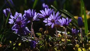 anemone plant anemones plant care and collection of varieties garden org