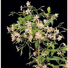Tropical Fragrant Plants - 13 best logee u0027splants images on pinterest flowering plants