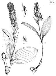 systematic revision of platanthera in the azorean archipelago not