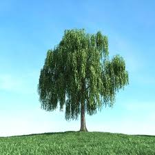 weeping willow tree beyondeight co