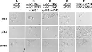 test pattern of hr 1384 candida albicans mds3p a conserved regulator of ph responses and
