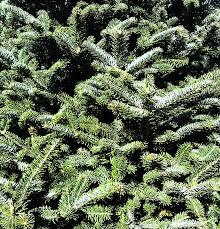 molleur christmas trees