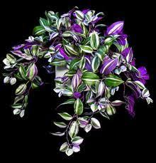 houseplants that need little light best low light house plants wandering jew low lights and hanging