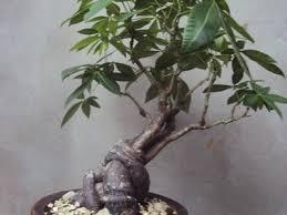 common tree species used for bonsai bonsai empire