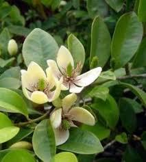 Tropical Fragrant Plants - eztropical com fruiting rare and tropical plants