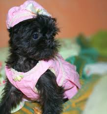 affenpinscher havanese mix free images puppy cute small brussels vertebrate funny dog