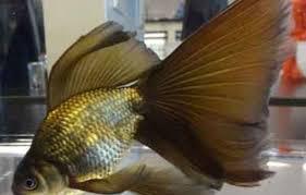 ornamental fish modern farming methods