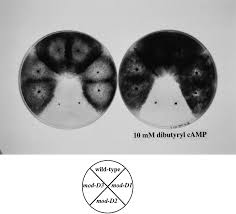 mod d a gα subunit of the fungus podospora anserina is involved
