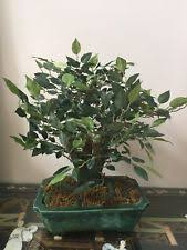 ficus synthetic tree floral décor ebay