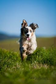australian shepherd jumping 958 best love puppies images on pinterest animals baby animals