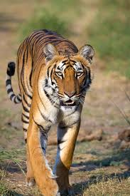 tiger meaning of tiger