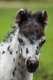 best 25 mini horses ideas on pinterest baby horses mini