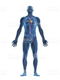 The Human Anatomy Pictures The Human Body Pictures Images And Stock Photos Istock
