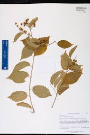 florida keys native plants gouania lupuloides species page isb atlas of florida plants