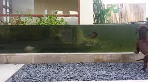 tropical monster fish pond youtube
