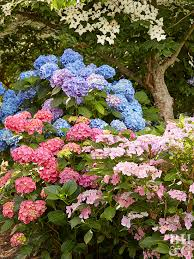 Fertilizer For Flowering Shrubs - what is the appropriate fertilizer for pink hydrangeas