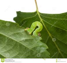 The Inchworm Inchworm Stock Photos Images U0026 Pictures 227 Images