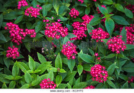 Pentas Flower Pink Pentas Flowers Stock Photos U0026 Pink Pentas Flowers Stock
