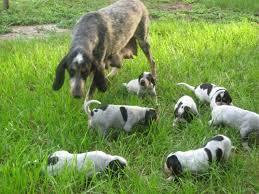 bluetick coonhound kennels in pa backwoods bluetick kennels orlando fl georgia