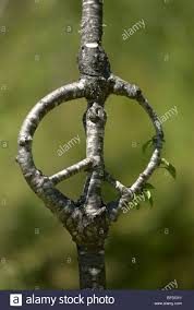 peace sign grown by richard reames as part of his arborsculpture