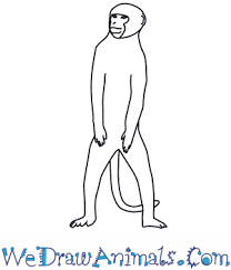 how to draw a vervet monkey