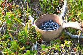 native plants in the tundra berries of northwest alaska alaska master gardener blog