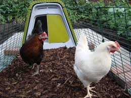 no grass keep your chickens on wood chips eglu guide chickens