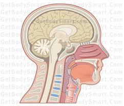 Human Ear Anatomy Quiz Pharynx Anatomy U0026 Physiology Tutorials U0026 Quizzes
