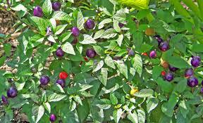 free images tree nature fruit berry flower purple bush