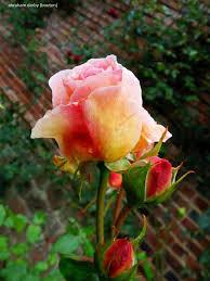 White Roses For Sale Roses Freespywarefixescom