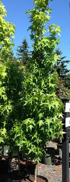 ten trees and shrubs for a small city garden swansons nursery