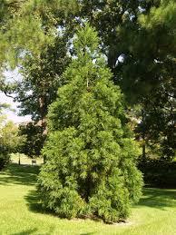 japanese cedar u2013 an underappreciated evergreen east texas gardening