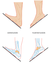 3d Human Anatomy Luxury Definition Of Supination 39 With Additional 3d Human