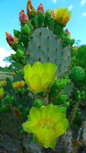 south texas native plants 227 best new mexico flowers u0026 desert plants images on pinterest