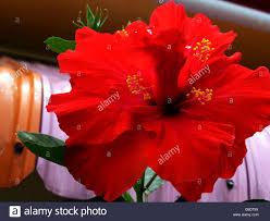 hibiscus flower very popular in many varieties right across stock