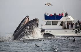 california whale watching what you can see by month