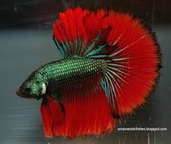 Buy Ornamental Fish Setting Up Of Ornamental Fish Bowl Ornamental Aquarium Fish