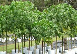brachychiton acerifolius illawarra tree blerick trees buy