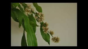 time lapse dracaena fragrans blooming youtube
