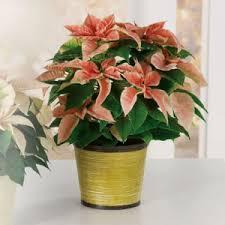 Christmas Plants Christmas Plants Don Lyn Florist Best Zachary La Flower Shop