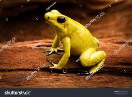 poisonous frog poison dart frog phyllobates stock photo 521542354