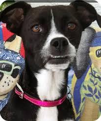 affenpinscher with underbite trixie u0027 adopted dog brooksville fl boston terrier rat